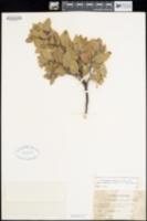 Arctostaphylos crustacea subsp. subcordata image