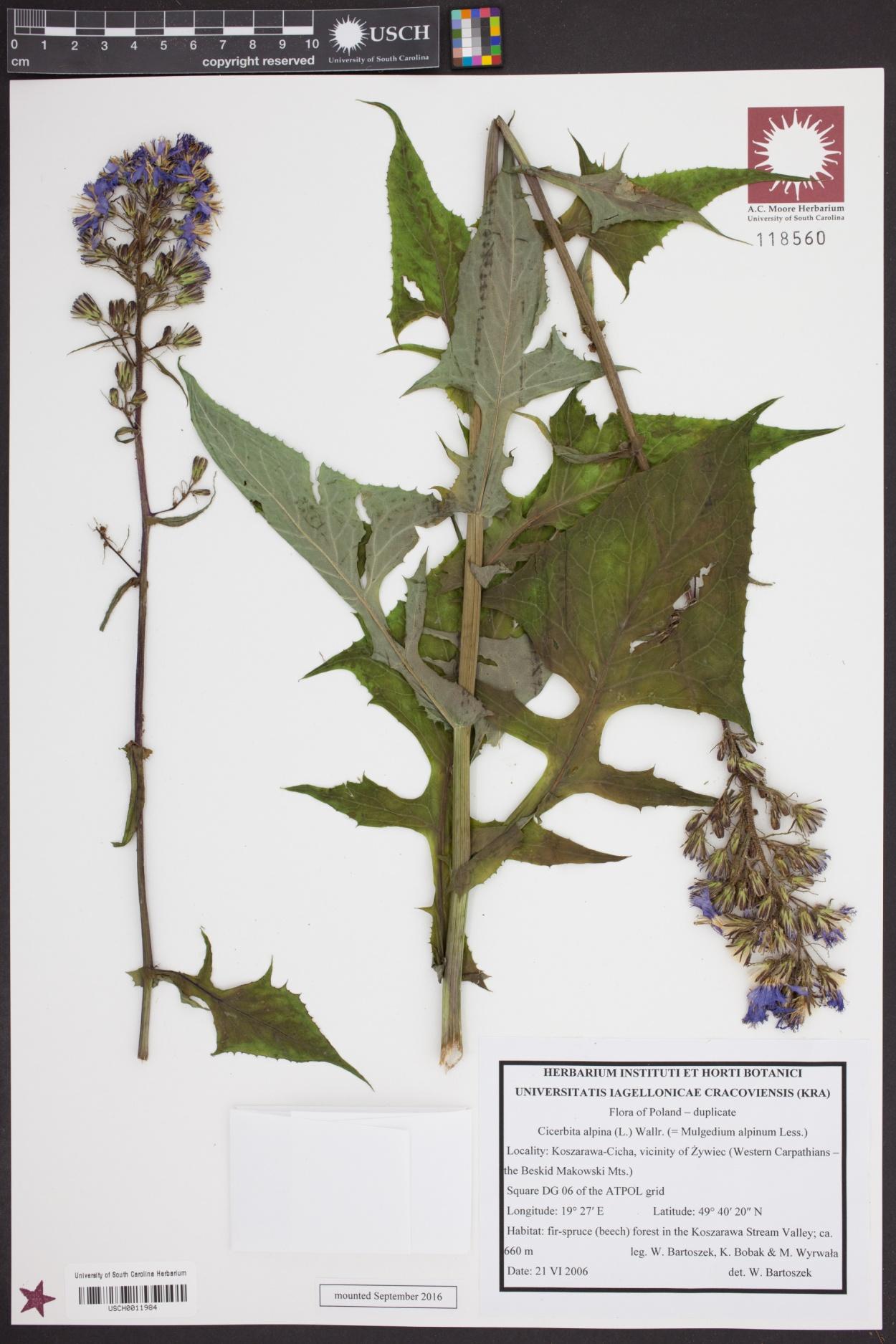Lactuca alpina image