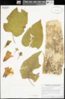 Ipomoea arborescens image