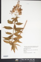 Image of Lysimachia fauriei