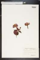 Achimenes grandiflora image
