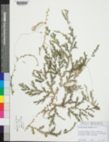 Image of Selaginella arthritica