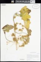 Cuscuta campestris image