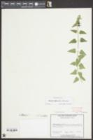 Matelea biflora image
