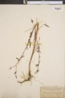 Image of Rhexia lanceolata