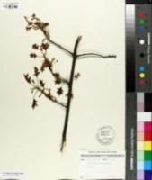Quercus palustris image